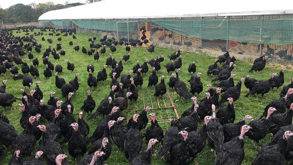 Free Range Caldecott Turkeys