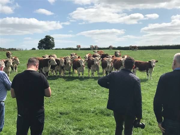 Chefs with Irish Cattle