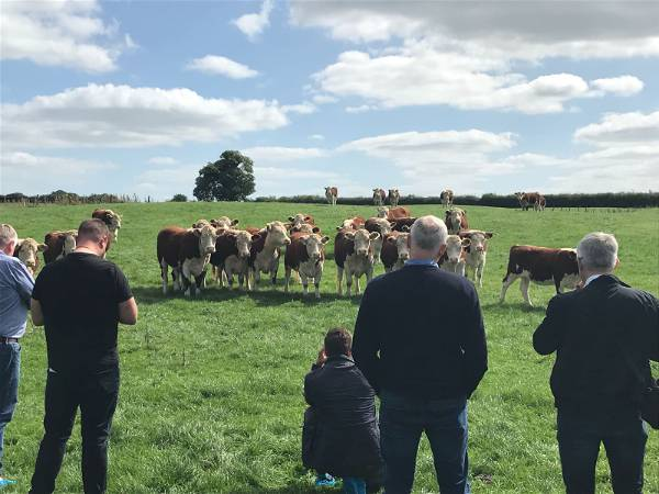 Chefs with the Irish cattle