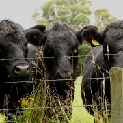 Aberdeen Angus on Aubrey Allen farm trip