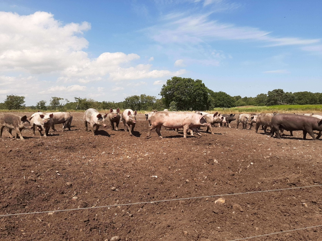 Free Range Blythburgh Pigs enjoying the sunshine